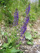 Wiesensalbei (Salvia pratensis) 03.jpg