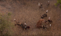 Wild Dogs Attack Spotted Hyenas to Defend Their Kill HD 4.png