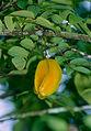 Wild Starfruit (Averrhoa carambola) (14254882191).jpg