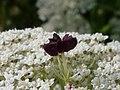 Wilde Möhre, Mohrenblüte.jpg