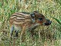 Wildschwein - IMG 0925.jpg
