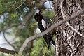 Williamson's Sapsucker (male) Forest Rd 42 Loop Chiricahuas Portal AZ-86 (35036990754).jpg
