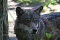 Wolf (125518467).jpeg
