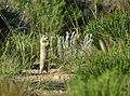 Wyoming ground squirrel on Seedskadee National Wildlife Refuge (35336637701).jpg
