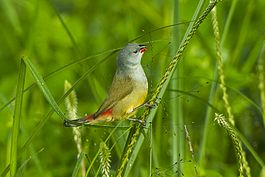 Yellow-bellied Waxbill - Mt.Kenya NP - Kenya S4E7308 (22595164179).jpg