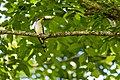 Yellow-billed cuckoo (46967700885).jpg