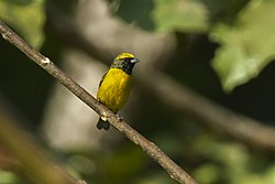 Yellow-crowned Euphonia - Panama H8O8633 (23250431975).jpg