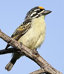Yellow-fronted tinkerbird, Pogoniulus chrysoconus, at Walter Sisulu National Botanical Garden, South Africa (15819114098), crop.jpg