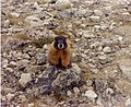 Yellow Bellied Marmot2.jpg