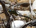 Yellow Clubtail. Gomphus simillimus - Flickr - gailhampshire.jpg