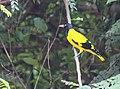 Yellow bird Sri Lanka.jpg