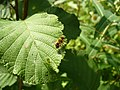 Yellowinsect Diptera.jpg
