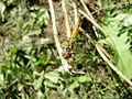 Young female Sympetrum vulgatum 02.jpg