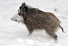 Wild boar - Simple English Wikipedia, the free encyclopedia
