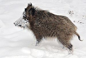 Snowi, a young wild boar in the Wisentgehege S...