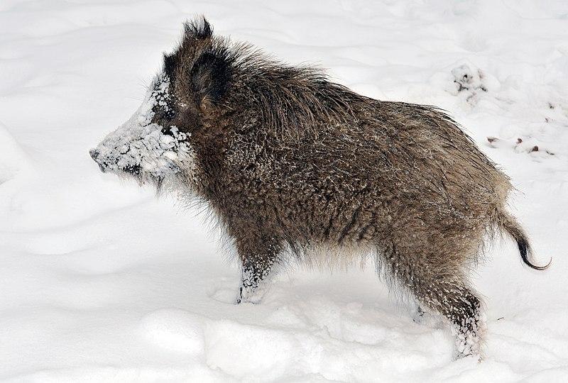 File:Young wild boar.jpg