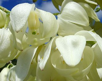 Hesperoyucca whipplei - Several of a mass of hundreds of such flowers on the inflorescence of Hesperoyucca whipplei