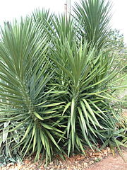 Yucca wiktionary for Yucca elephantipes exterieur