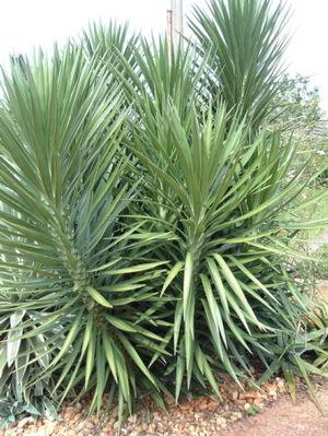 plante iris