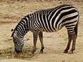 Zebra Biblical Zoo 06.jpg