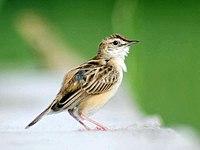 Zitting Cisticola (Breeding plumage) I- Kolkata IMG 5046