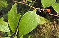 Ziziphus oenoplia 09.JPG