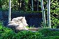 Zoo Wolf (Multnomah County, Oregon scenic images) (mulDA0010).jpg