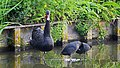 Zwarte zwaan , meerkoeten (48641286077).jpg