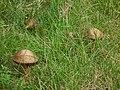 Zwei Pilze.JPG