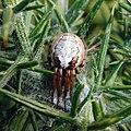 Zygiella atrica 28930786.jpg