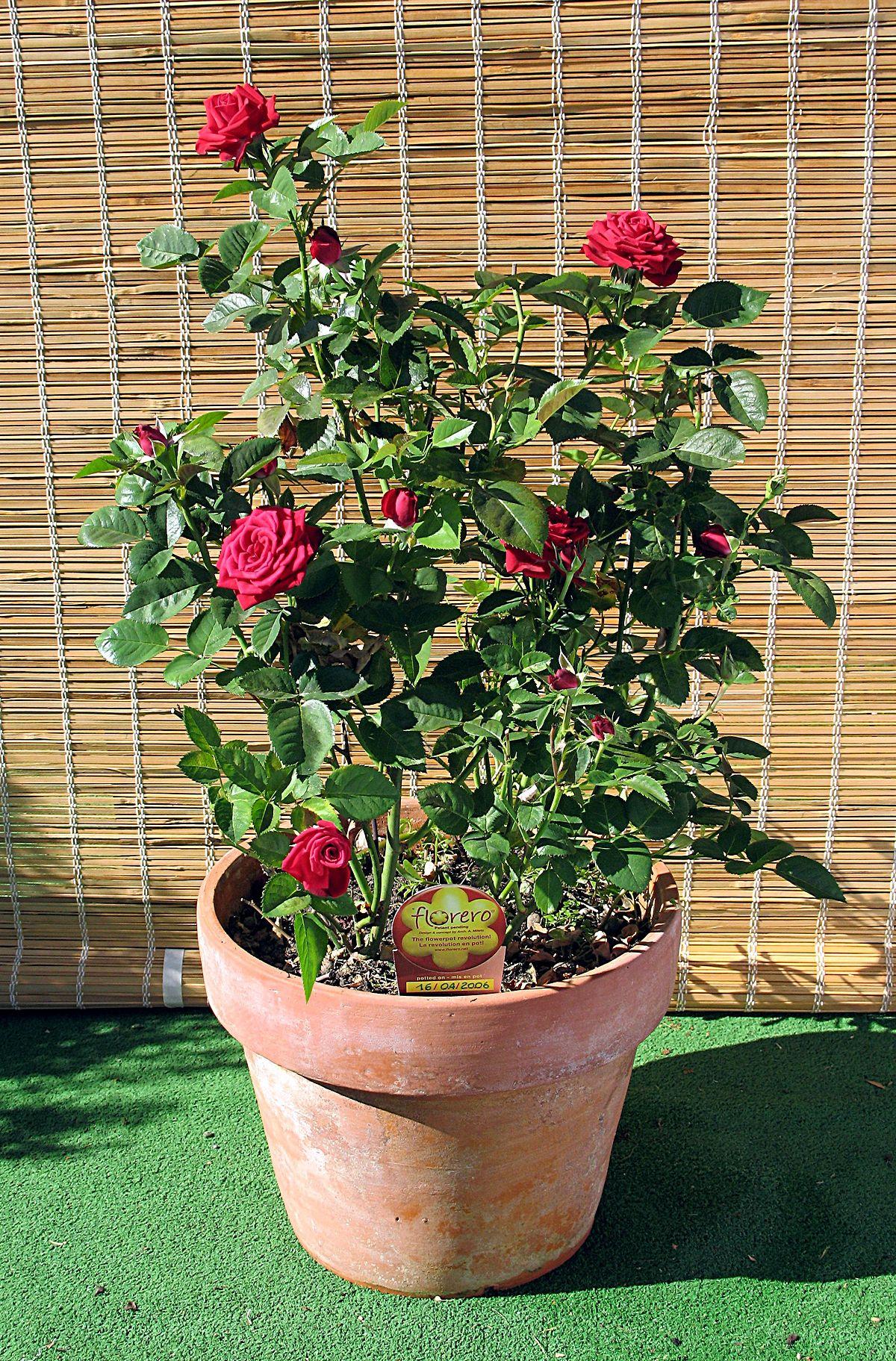 Miniatura Rosa Wikipedia La Enciclopedia Libre
