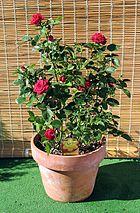 Meillandine rose in a terra cotta flowerpot
