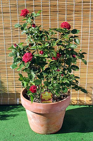Ornamental plant - Meillandine Rose in clay pot