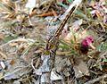 'Brachythemis impartita' (Northern Banded Groundling). Immature Male - Flickr - gailhampshire.jpg
