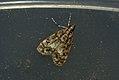 (1338) Dipleurina lacustrata (3661282492).jpg