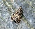 (1338) Dipleurina lacustrata (7447956198).jpg