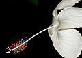 (196 365) Delicate beauty (5733278227).jpg