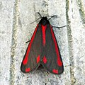 (2069) The Cinnabar (Tyria jacobaeae) (7285068116).jpg