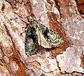 (2292) Tree-lichen Beauty (Cryphia algae) (28691612575).jpg