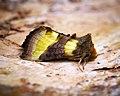 (2434) Burnished Brass (Diachrysia chrysitis) (27444578433).jpg