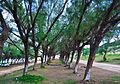 Árvores na Via Costeira.jpg
