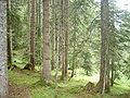 Çam ormanı.JPG