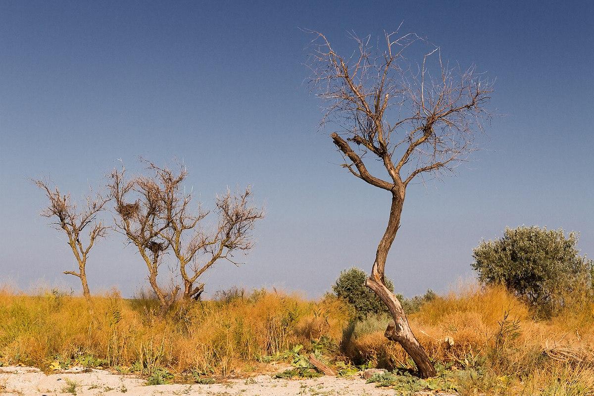 деревья в степи фото и названия восточных