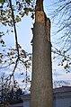 Айлант высокий. Каменец-Подольский. Фото 2.jpg