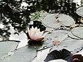 Водяная лилия на Верхнем пруду, парк Сергиевка.jpg