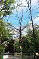 Група вікових дерев дуба 22.JPG