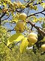 Дива ябълка – плодове.jpg