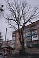 Дуб-велетень, м. Вінниця, вул. Хмельницьке Шосе, 6.jpg