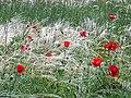 Ковила та маки в Донецькому ботанічному саду.jpg