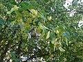 Липовый цвет в Алшихово.JPG